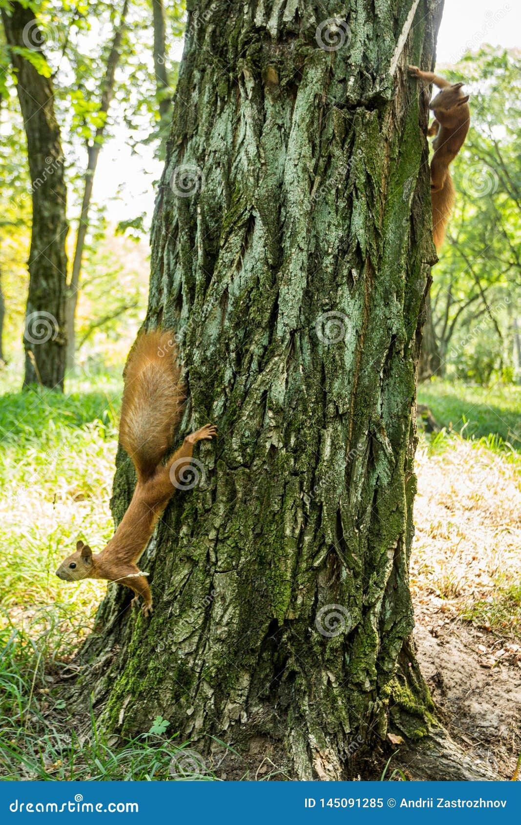 在一棵树的两只野生红发灰鼠在森林里
