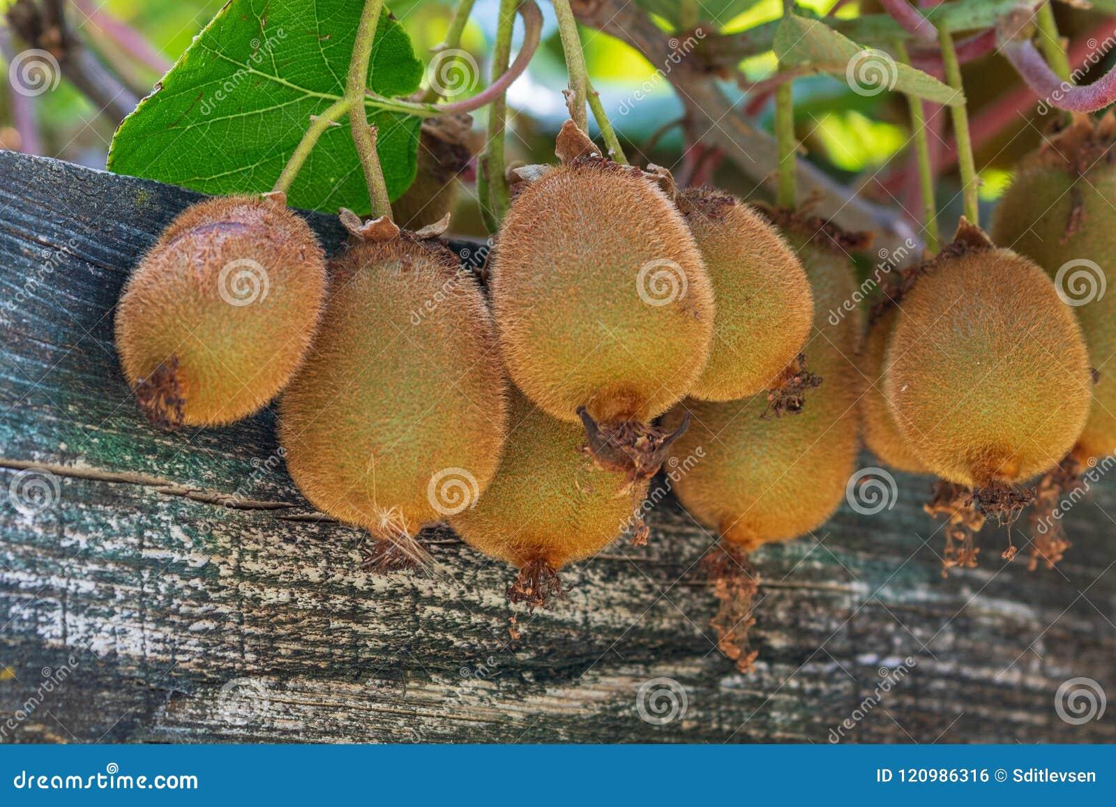 在一棵树的水多的成熟猕猴桃与一个木板
