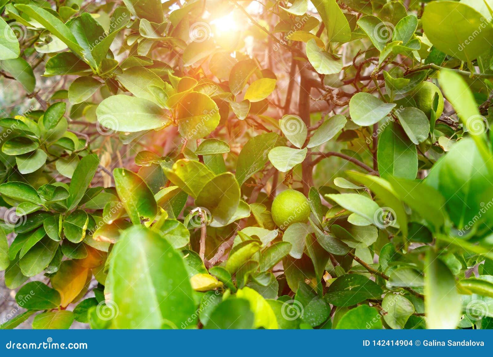 在一棵树的绿色未成熟的蜜桔在一个石墙外在一个南部的国家