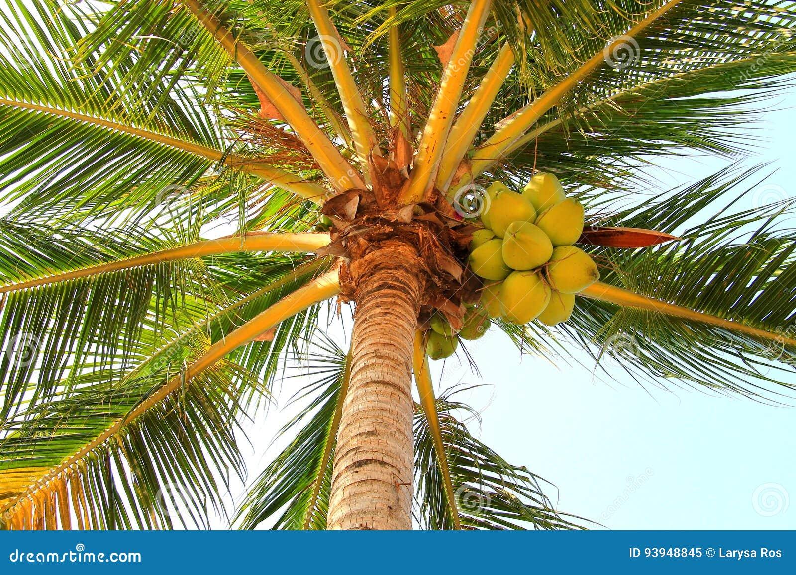 在一棵棕榈树的椰子在一个早期的热带早晨