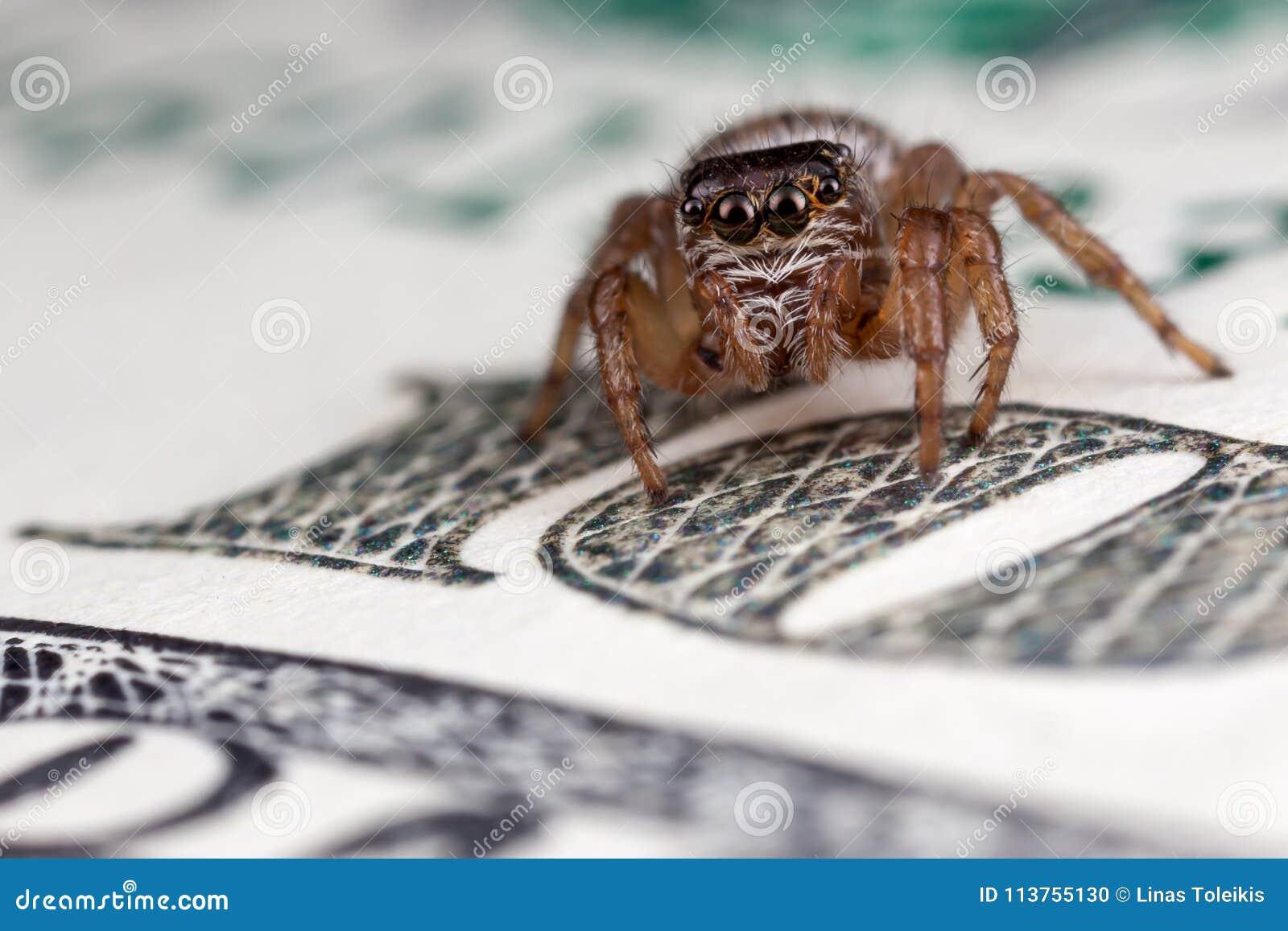 在一百美元的跳跃的蜘蛛