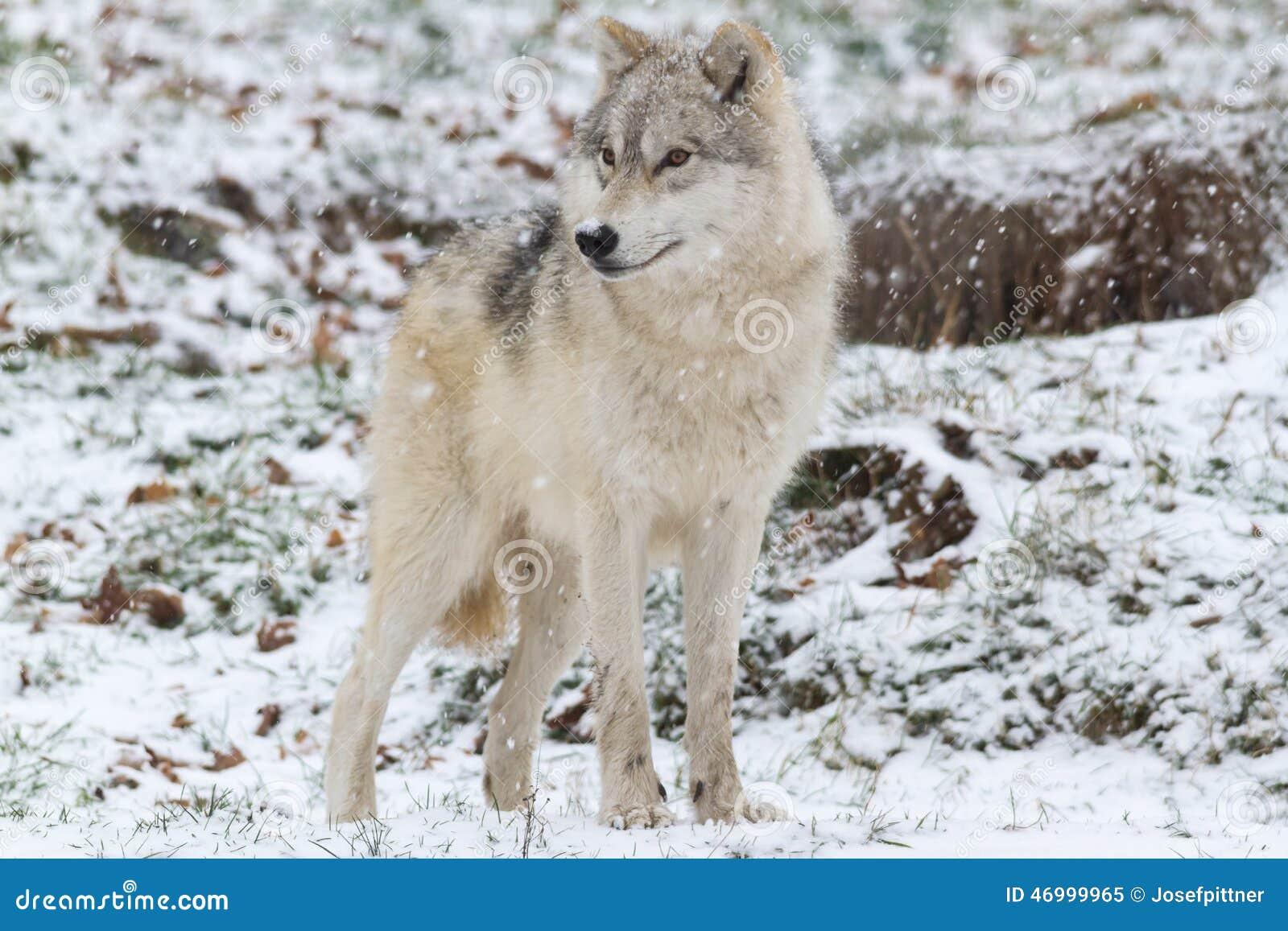 在一头冬天sceneLone北极狼的一头孤立北极狼在冬天场面
