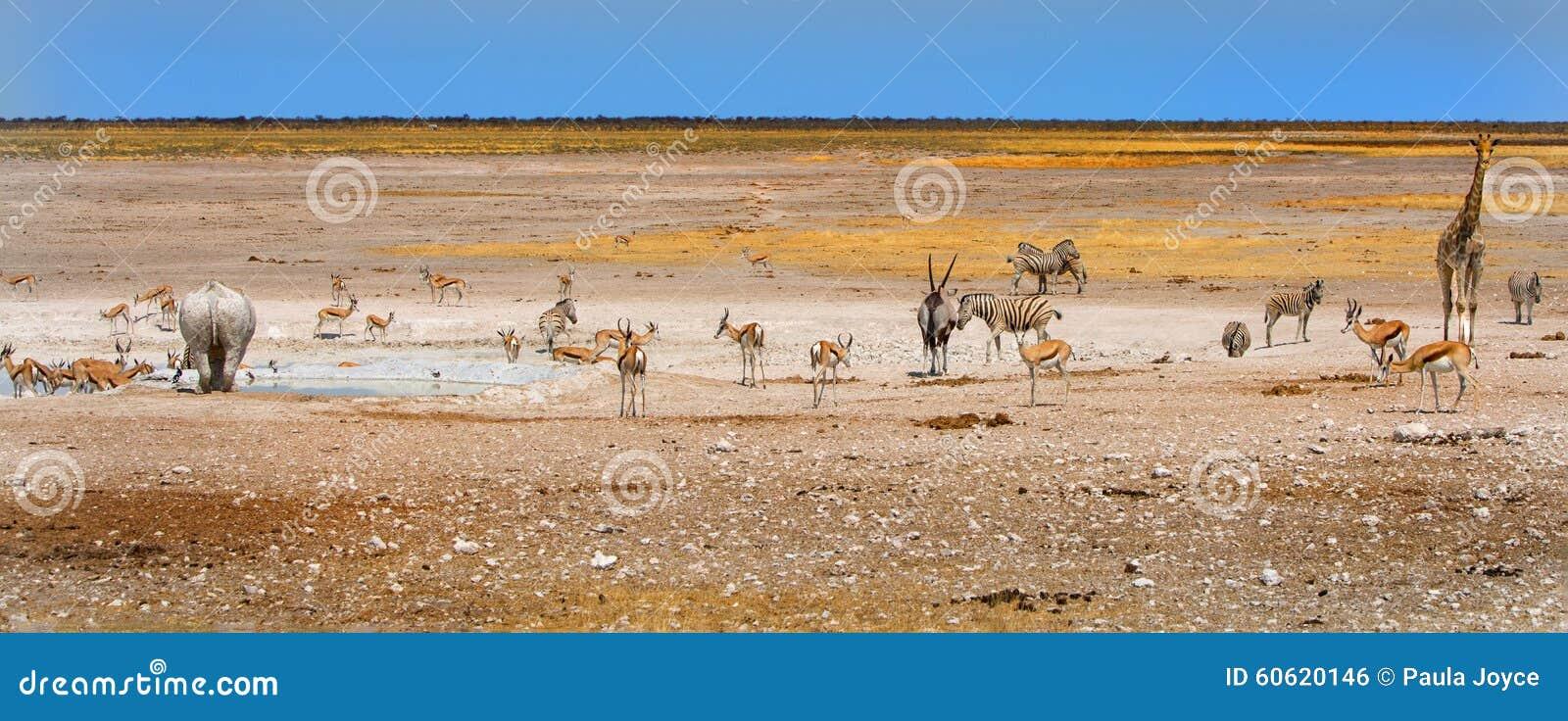 在一waterhole附近的各种各样的动物在埃托沙国家公园