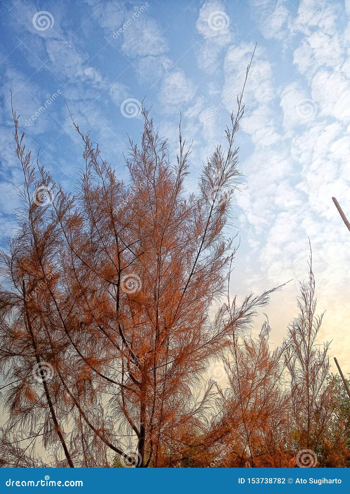 在下午的木麻黄属的各种常绿乔木树