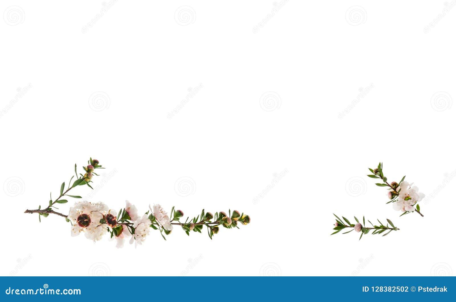 在与上面拷贝空间的白色背景隔绝的白色manuka树花