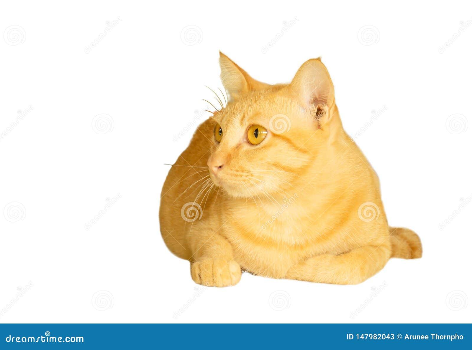 在与裁减路线和拷贝空间的白色背景隔绝的黄色猫谎言,flufy头发动物画象