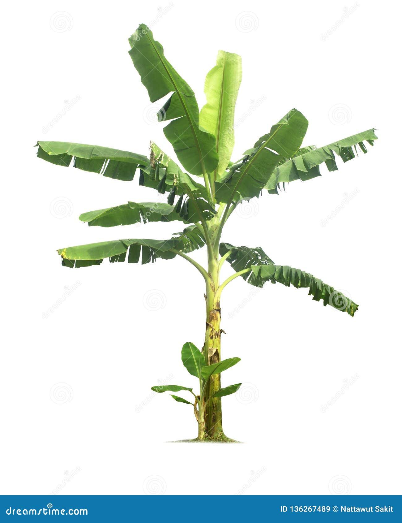 在与裁减路线的白色背景隔绝的香蕉树