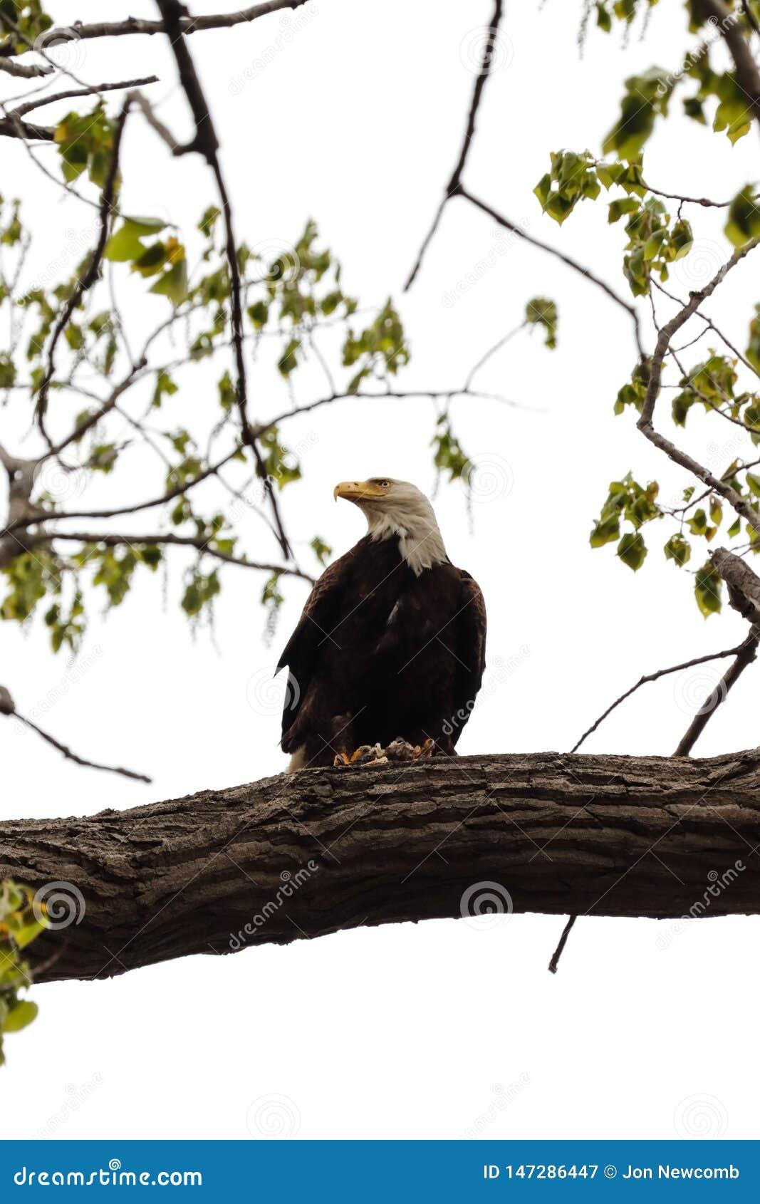 在与鱼的一棵树栖息的一只白头鹰 下面观看的人民 墙壁在春天