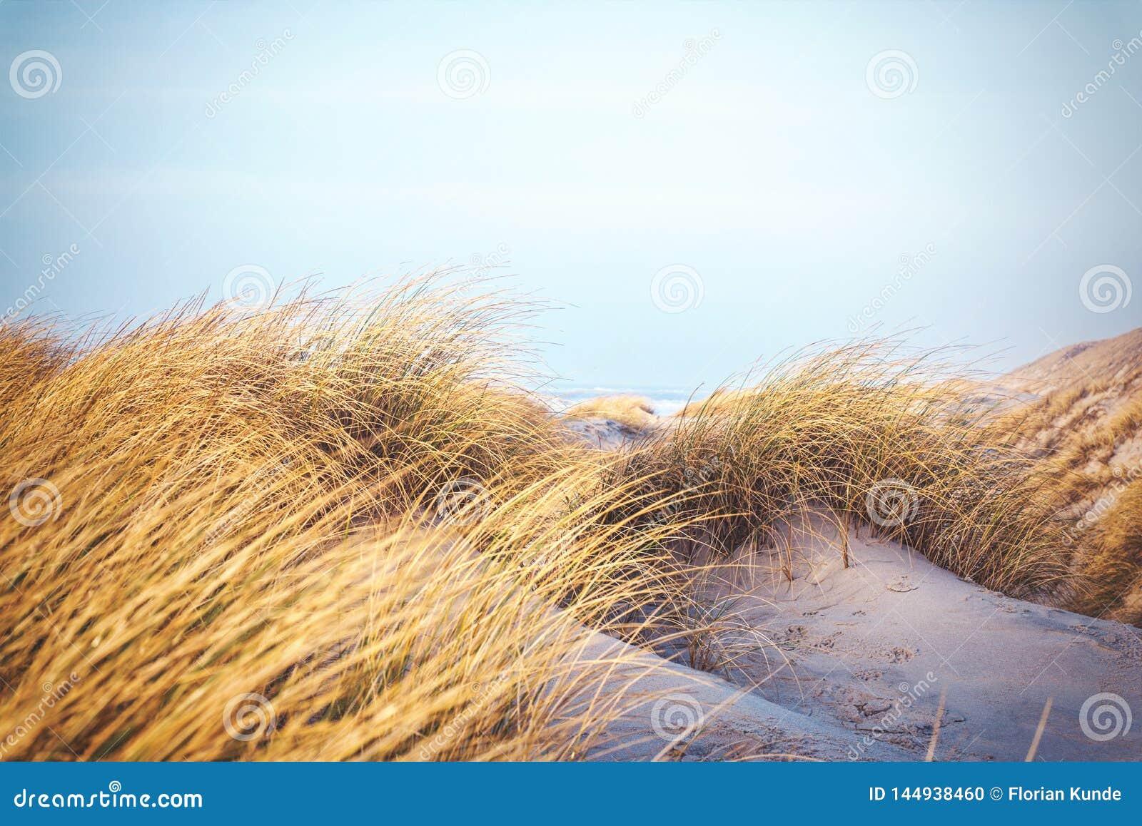 在丹麦的沙丘的草