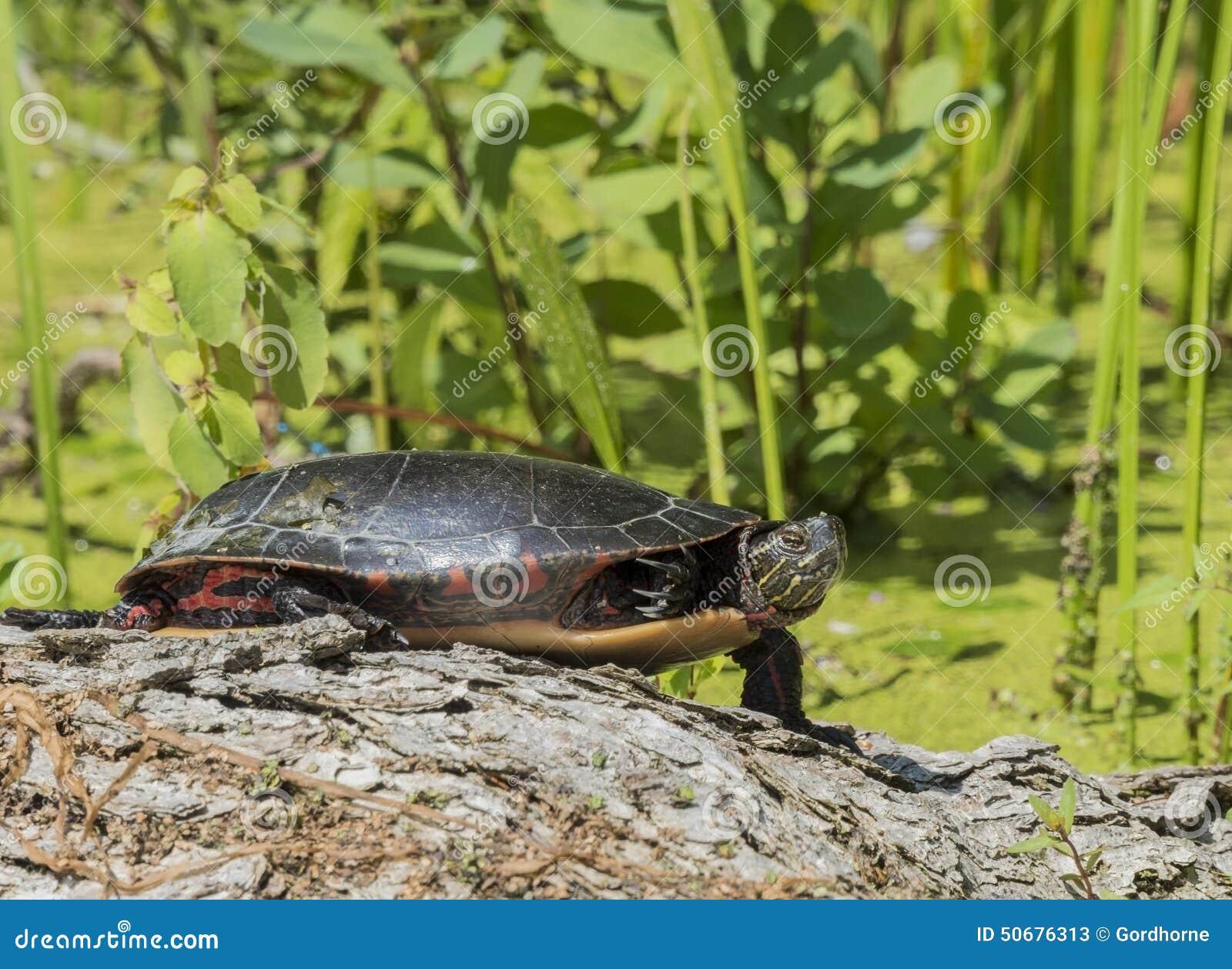 Download 在乌龟的特写镜头 库存图片. 图片 包括有 沼泽, 颜色, 旅行, 乌龟, 假期, 背包, 旅游业, 保护 - 50676313