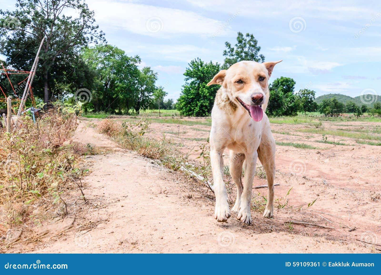 在乡下的愉快的白色狗