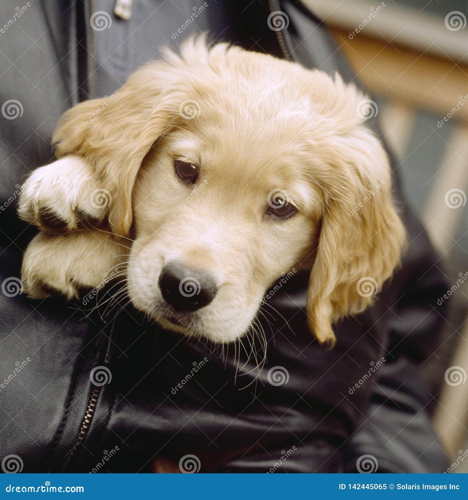 在人的外套夹克的逗人喜爱的金黄实验室拉布拉多猎犬小狗 人们宠爱与动物的所有者