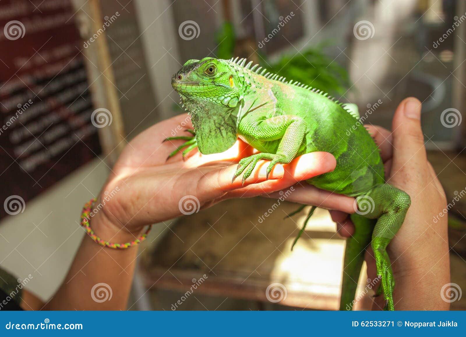 在人的手上的大绿色鬣鳞蜥
