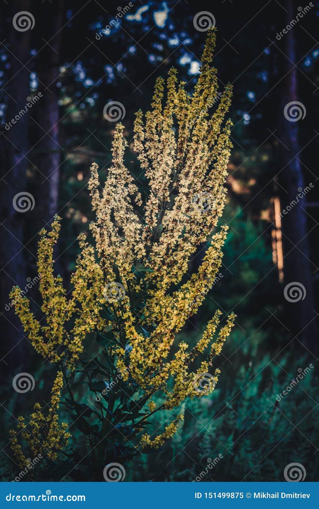 在从新射击黑暗的早晨的森林背景的大黄色灌木仙鹤草属  在细节的选择聚焦