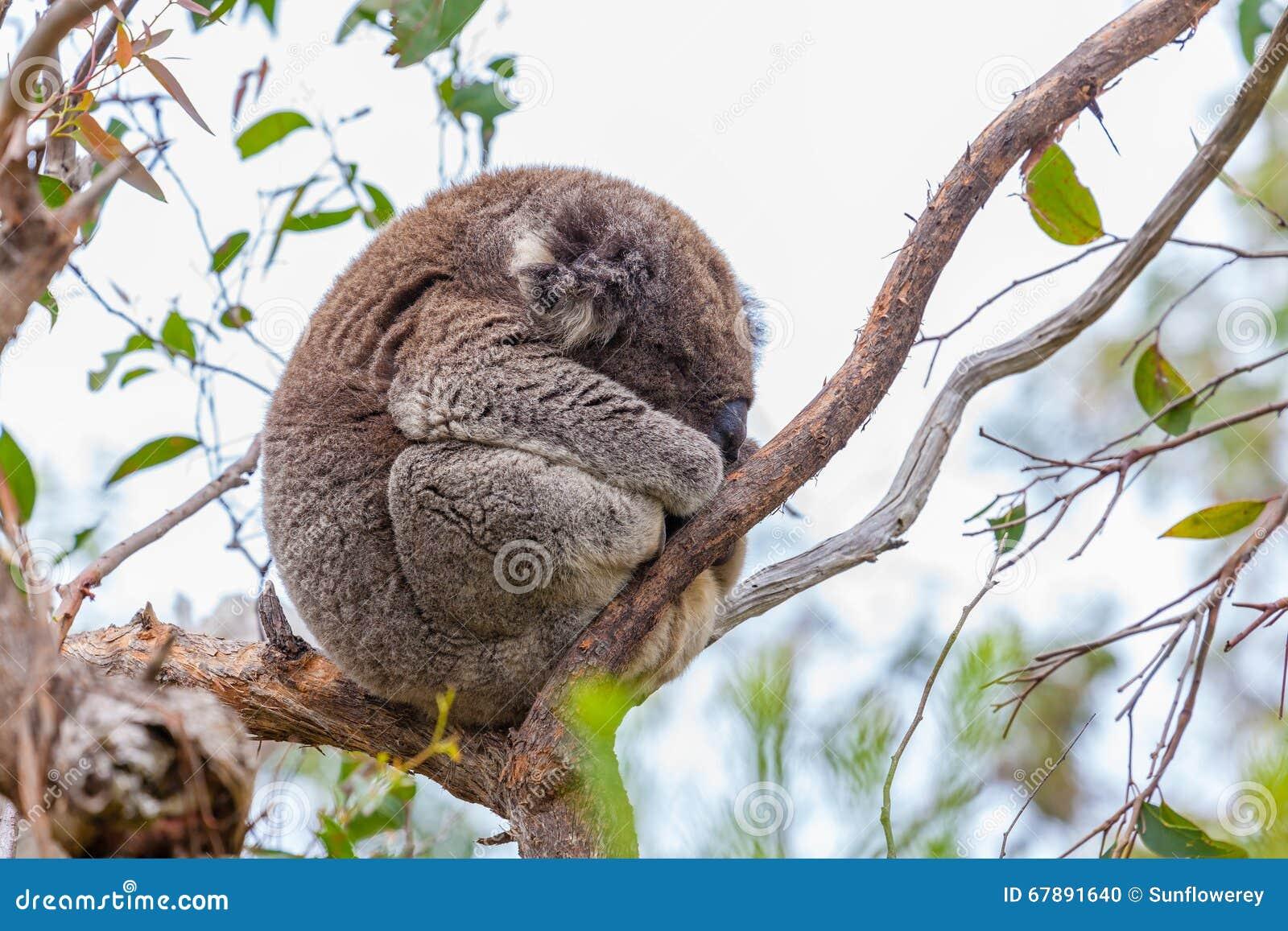 在伟大的Otway国家公园的野生考拉在澳大利亚