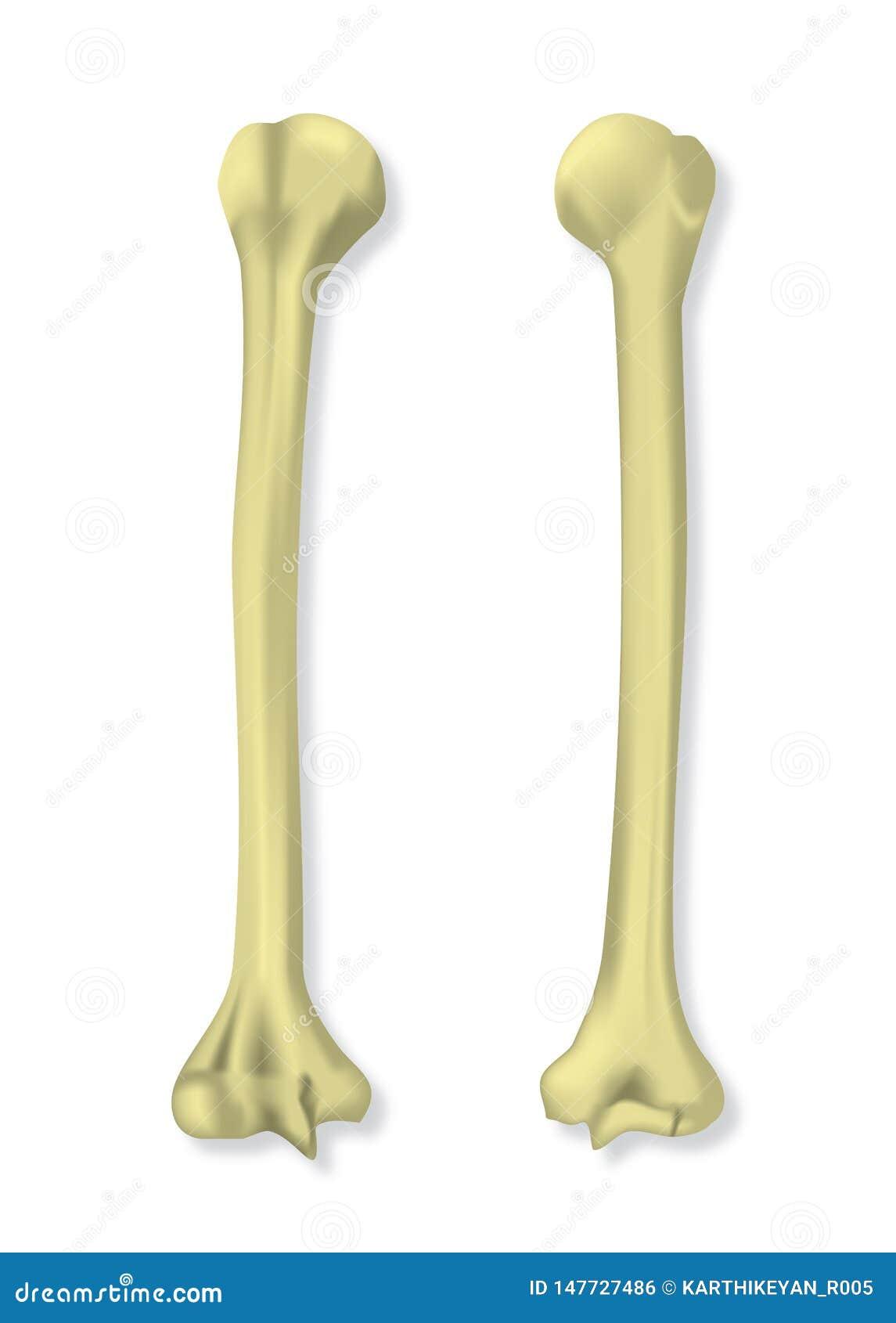 在传染媒介例证的人的手骨头