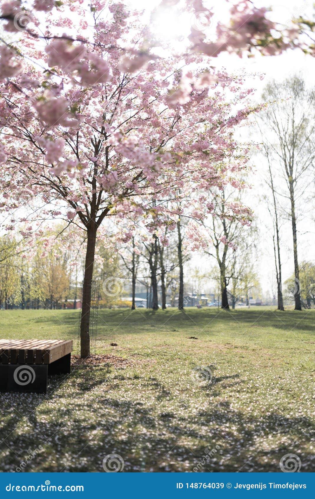 在佐仓樱花公园在春天享受自然和时间的美丽的白肤金发的年轻女人在她期间旅行