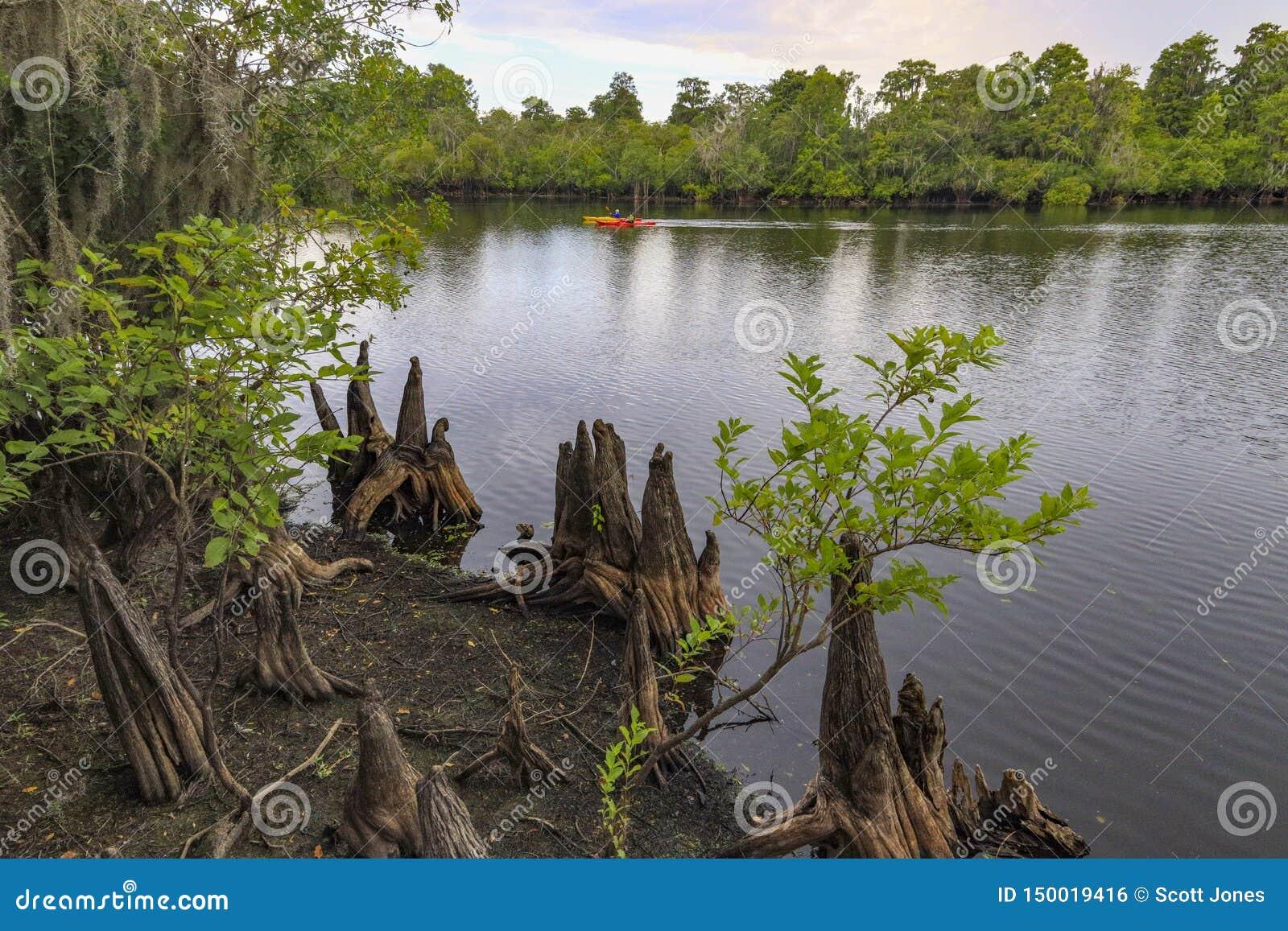 在佛罗里达沼泽的柏树