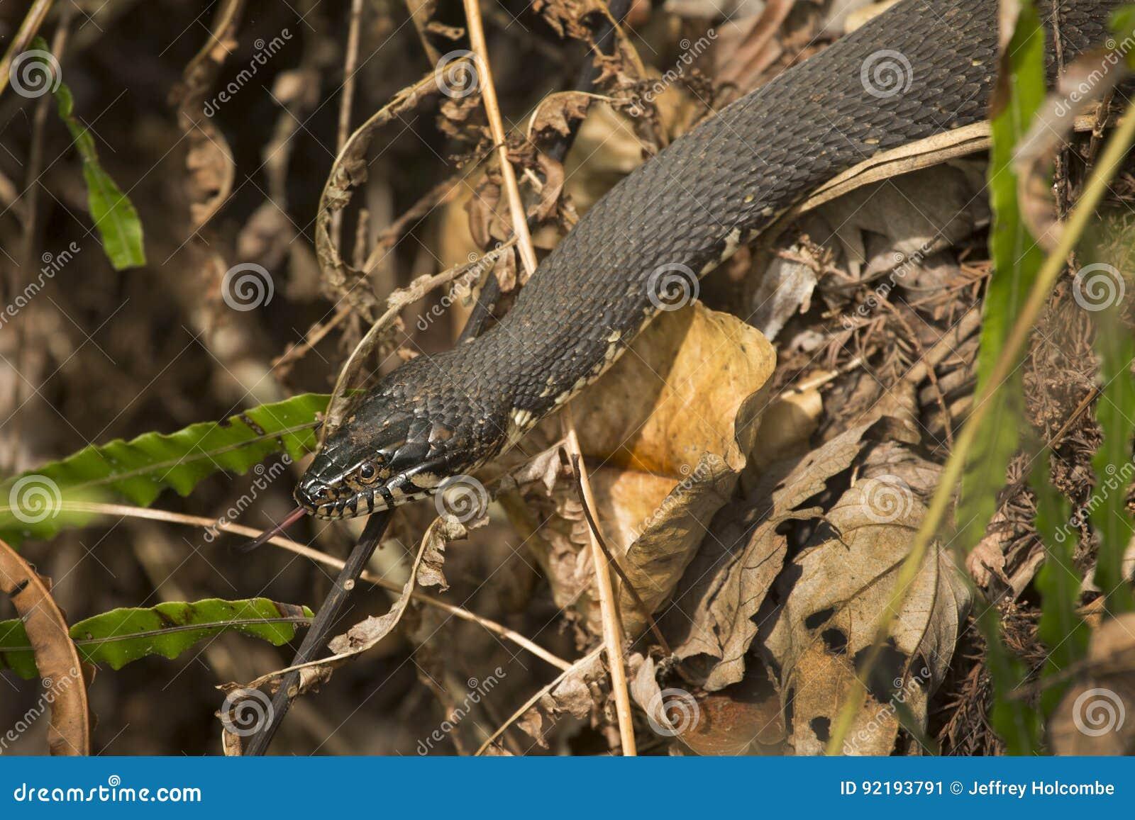 在佛罗里达` s沼泽地草丛的被结合的水蛇