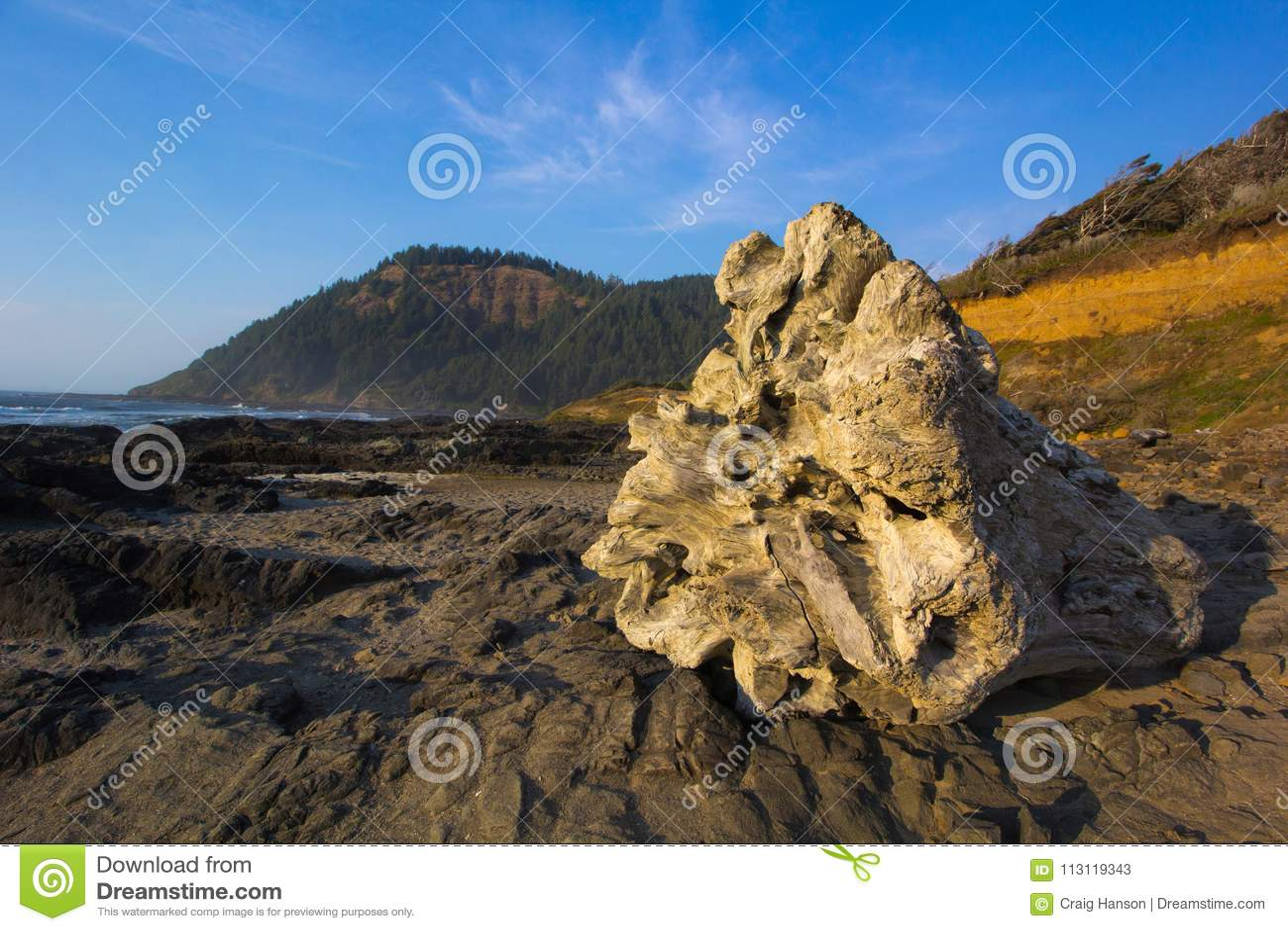 在俄勒冈海岸的巨型树桩