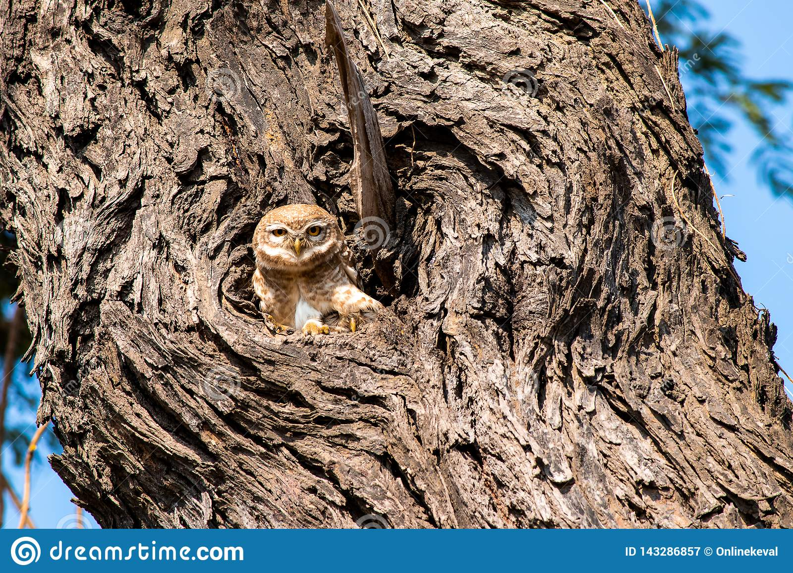 在偷看为照相机姿势的巢的猫头鹰