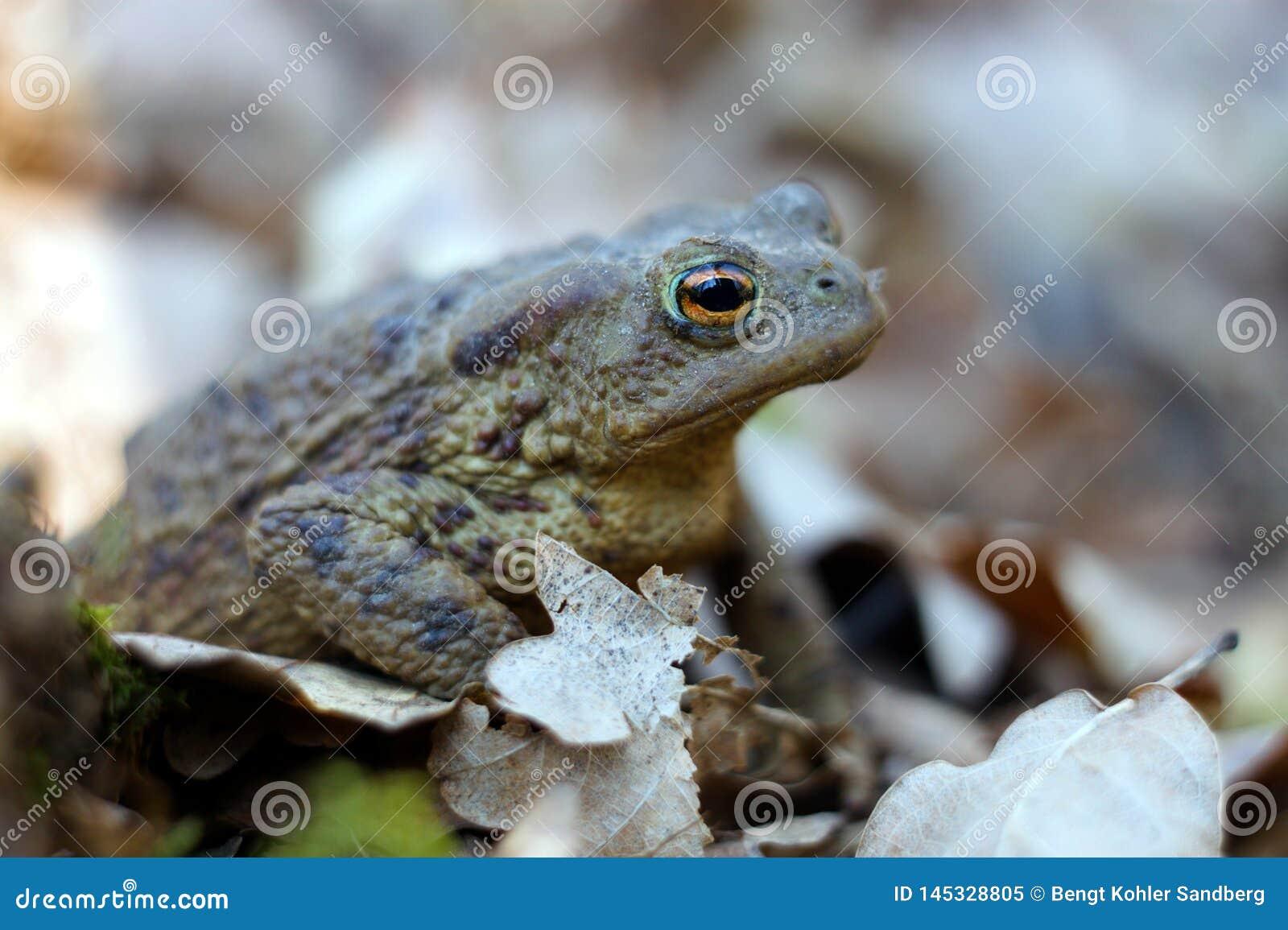 在充分森林地板的青蛙干叶子 紧密,坐在树荫下