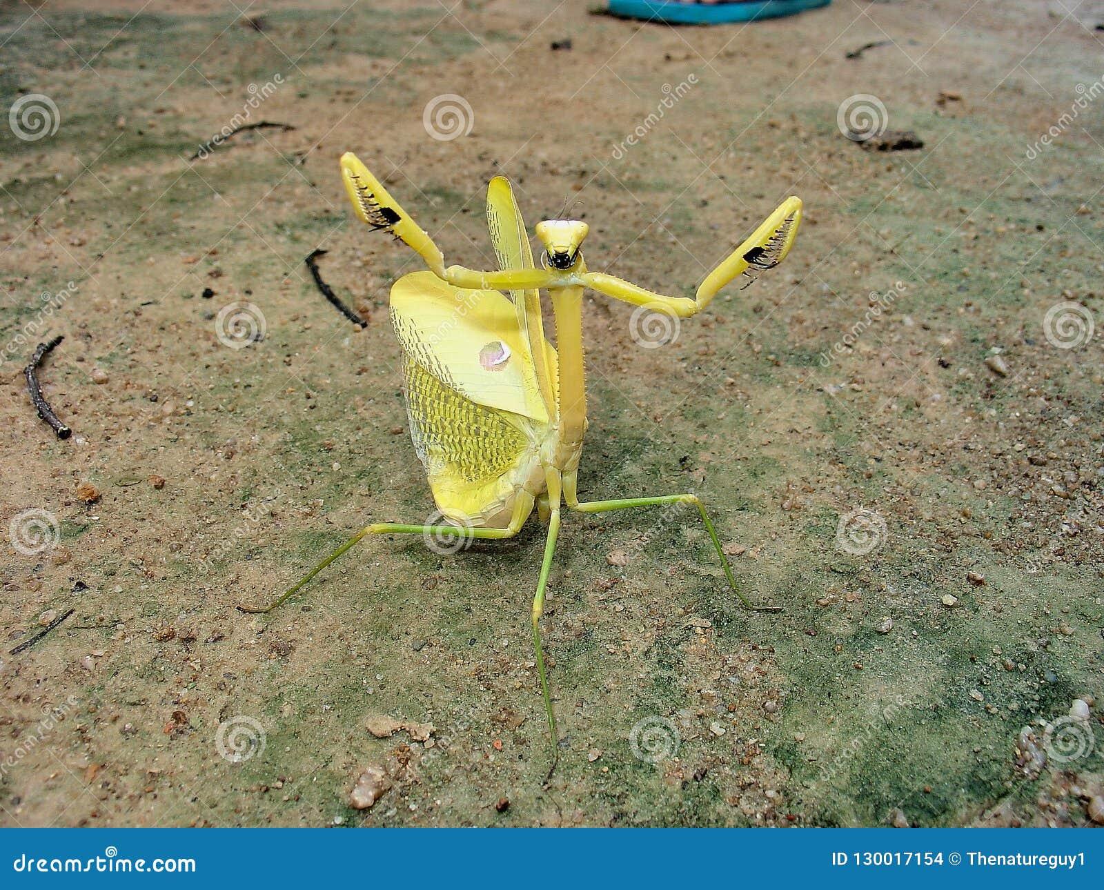 在充分的防御姿态的巨型黄色Amazoninian螳螂 一一张亲切的照片