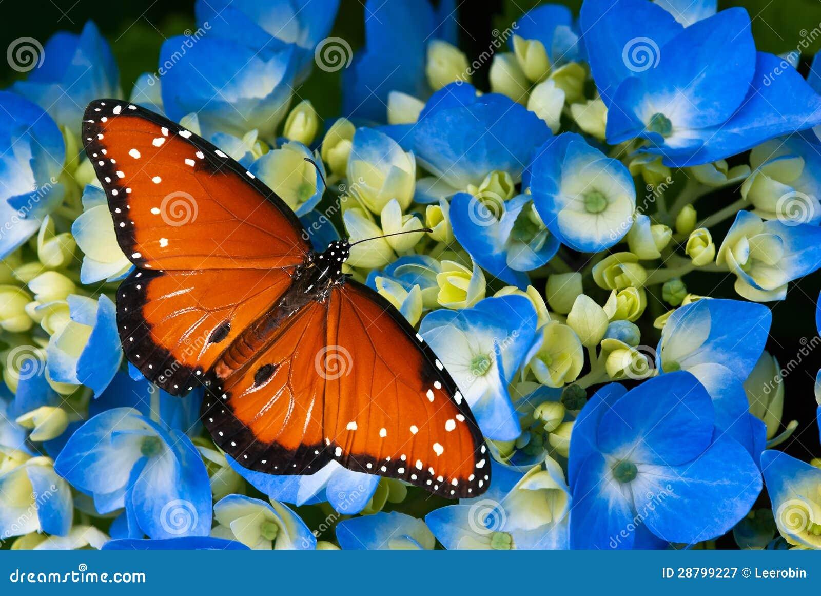 在八仙花属花的女王/王后蝴蝶