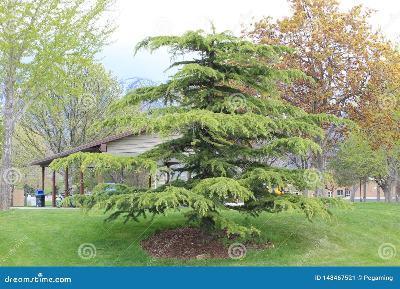 在公园的松树