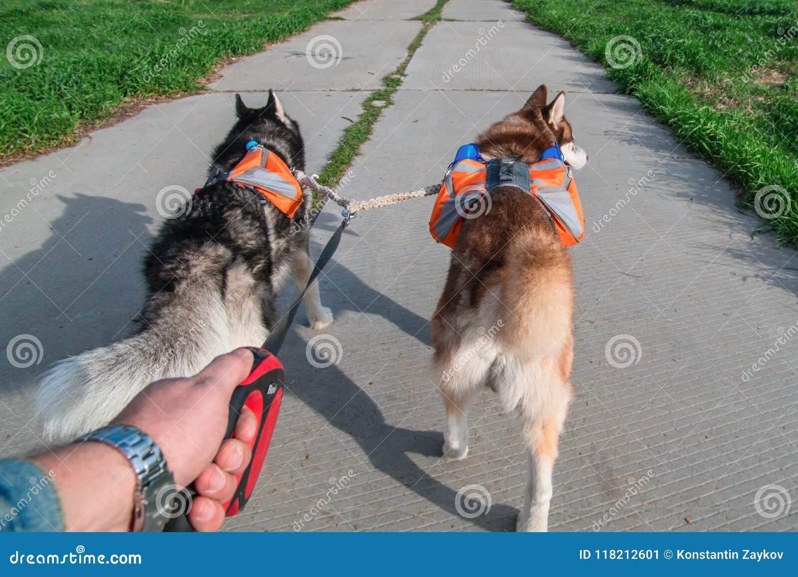 在公园,背面图供以人员遛两条多壳的狗 与运行在夏天路的橙色背包的西伯利亚爱斯基摩人