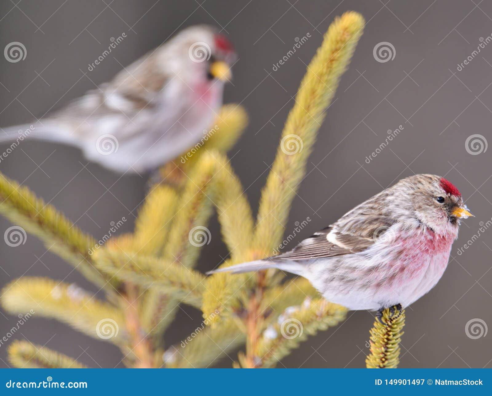 在具球果常青发辫栖息的共同的红弱鸟在萨克斯管Zim沼泽的冬天在明尼苏达北部