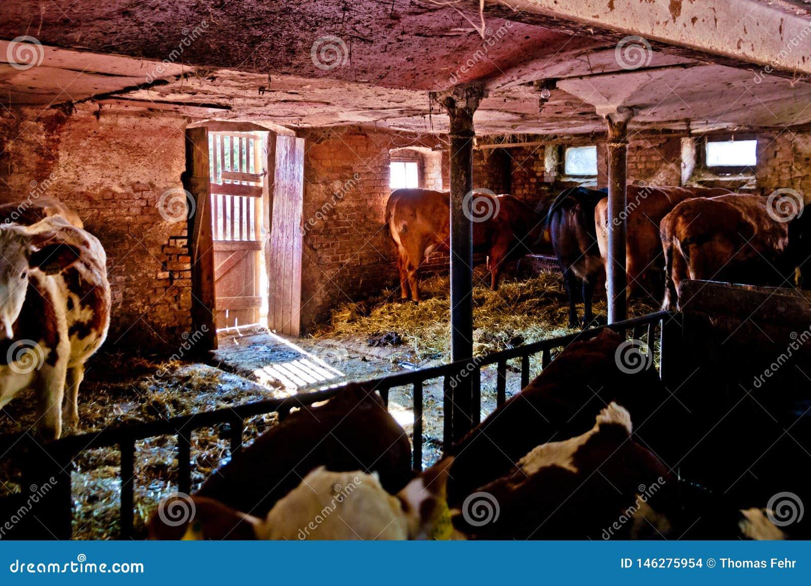 在农厂身分的母牛