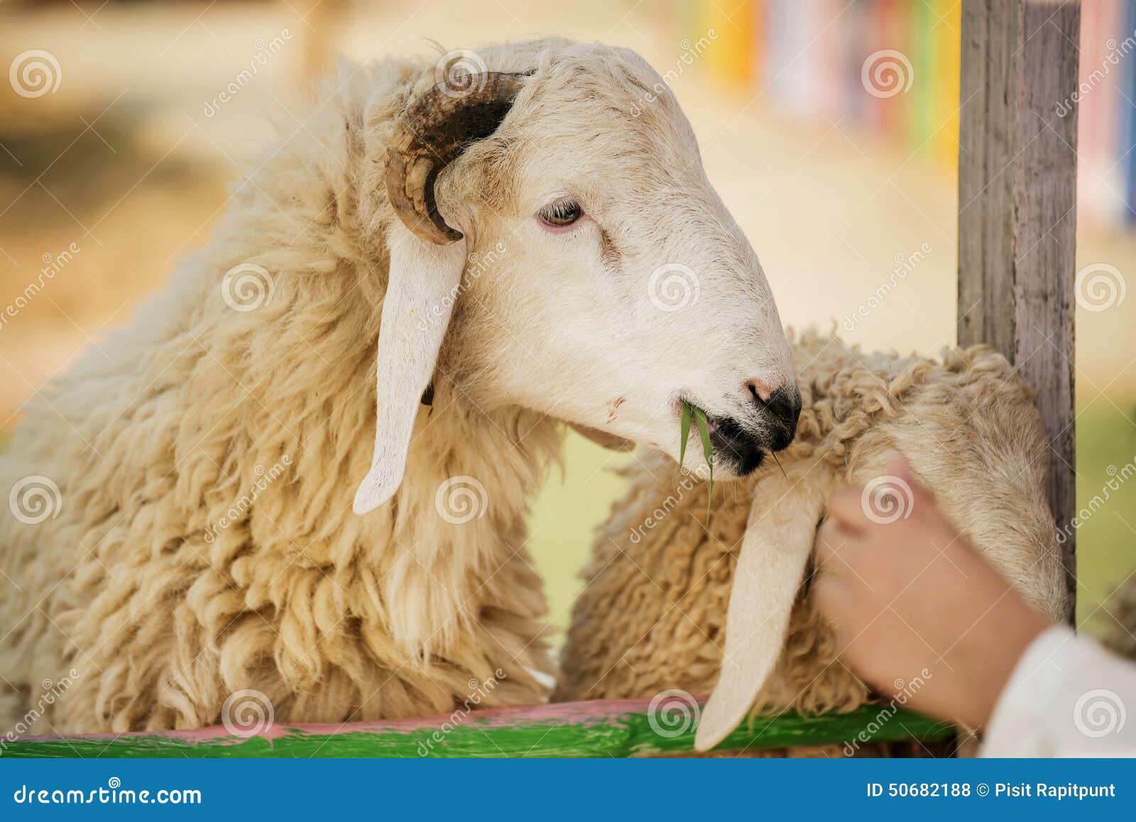 Download 在农场哄骗哺养的绵羊,泰国 库存照片. 图片 包括有 现有量, 女演员, 羊毛, 敌意, bothy, 羊羔 - 50682188