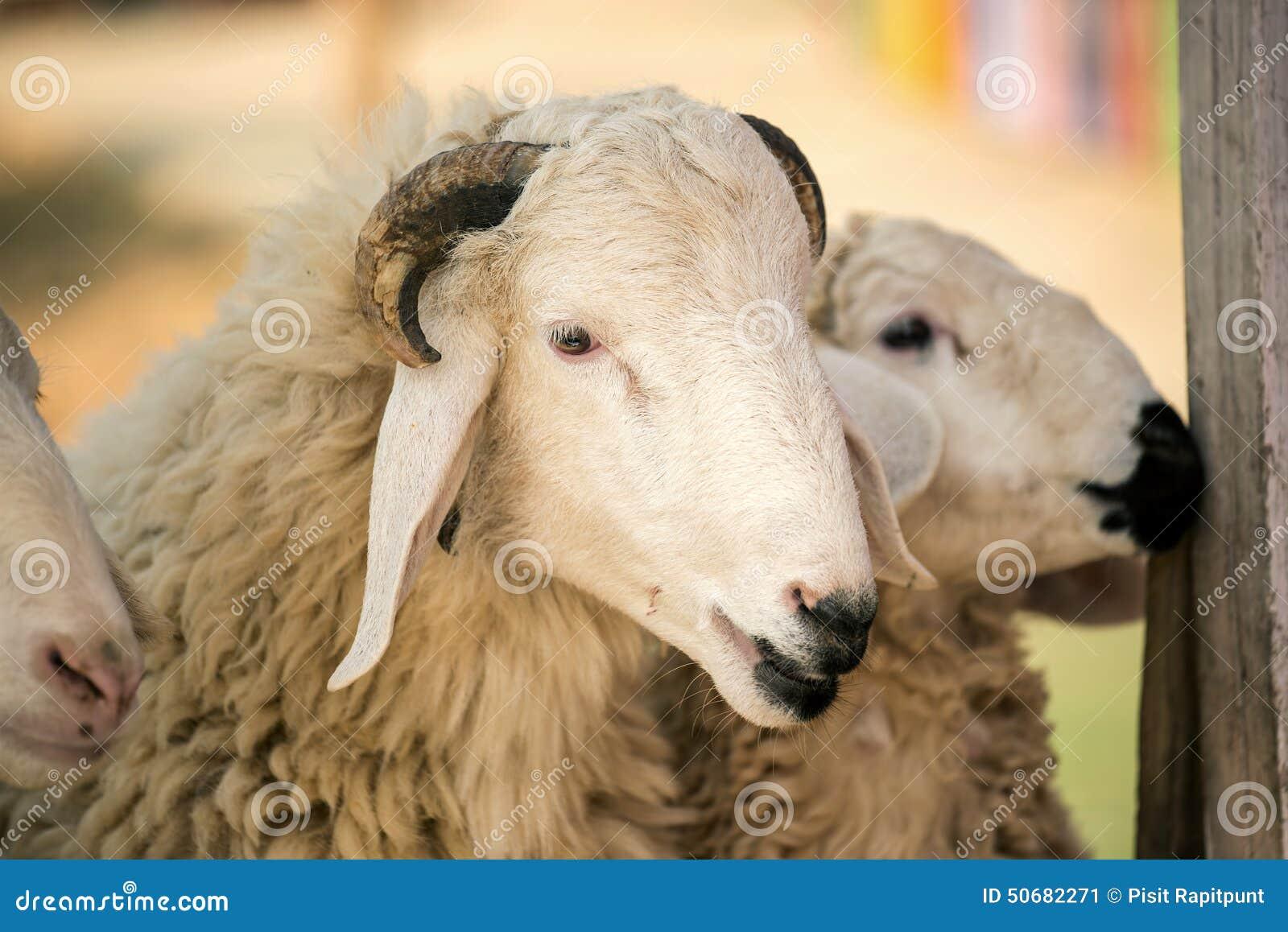 Download 在农场哄骗哺养的绵羊,泰国 库存图片. 图片 包括有 滑稽, 人员, 草甸, 旅行, 问题的, 的treadled - 50682271