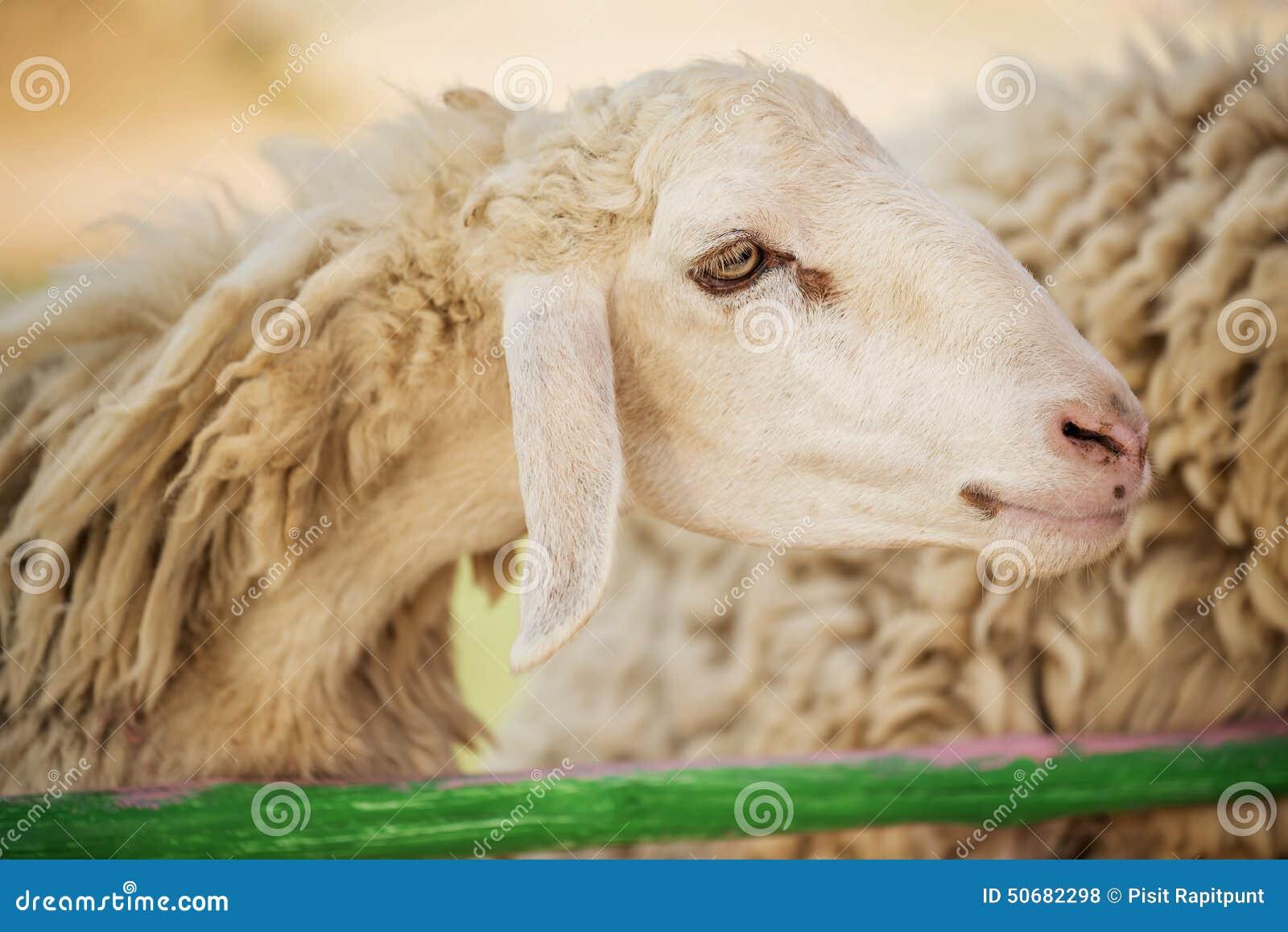 Download 在农场哄骗哺养的绵羊,泰国 库存照片. 图片 包括有 地产, 旅行, 空白, 愉快, 的treadled - 50682298