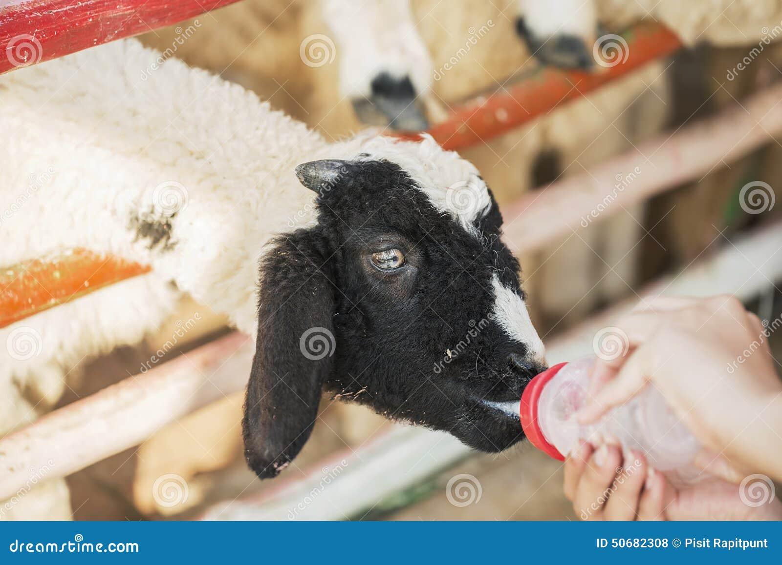 Download 在农场哄骗哺养的绵羊,泰国 库存照片. 图片 包括有 孩子, 结转, 逗人喜爱, 敌意, 地产, 农村, bothy - 50682308