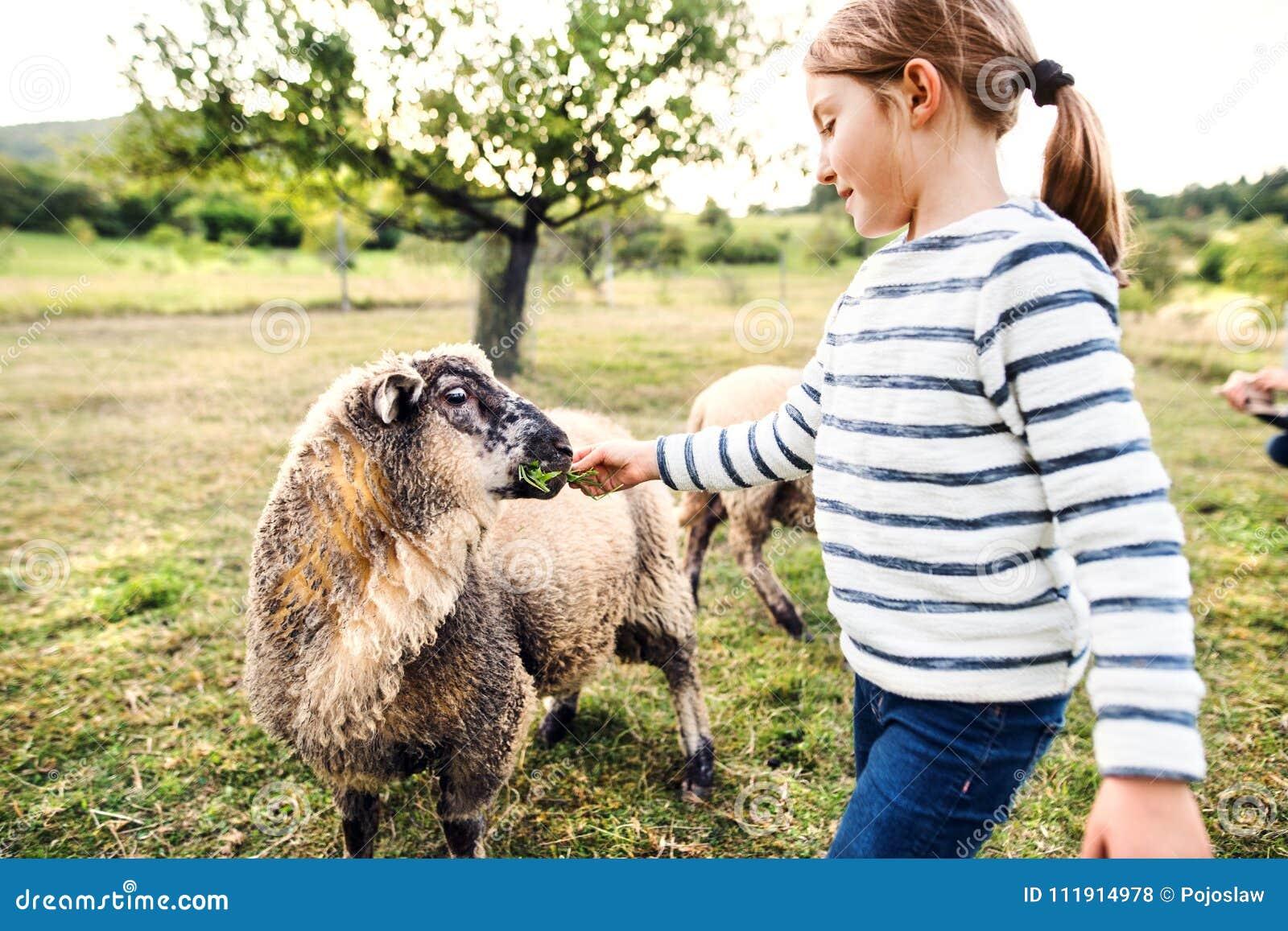 人和绵羊交配_在农场的一只小女孩哺养的绵羊