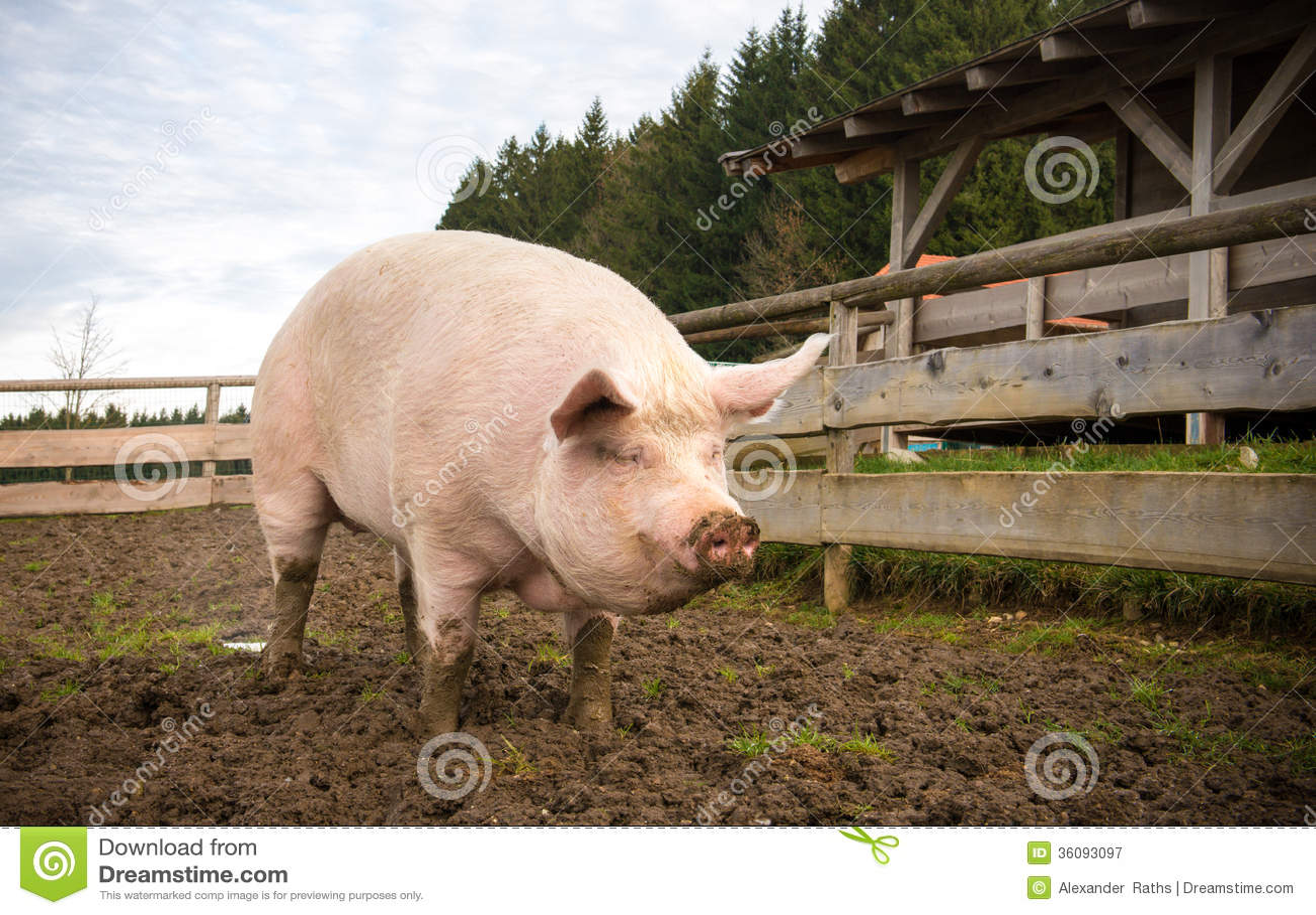 射击在农场的一头大猪.图片