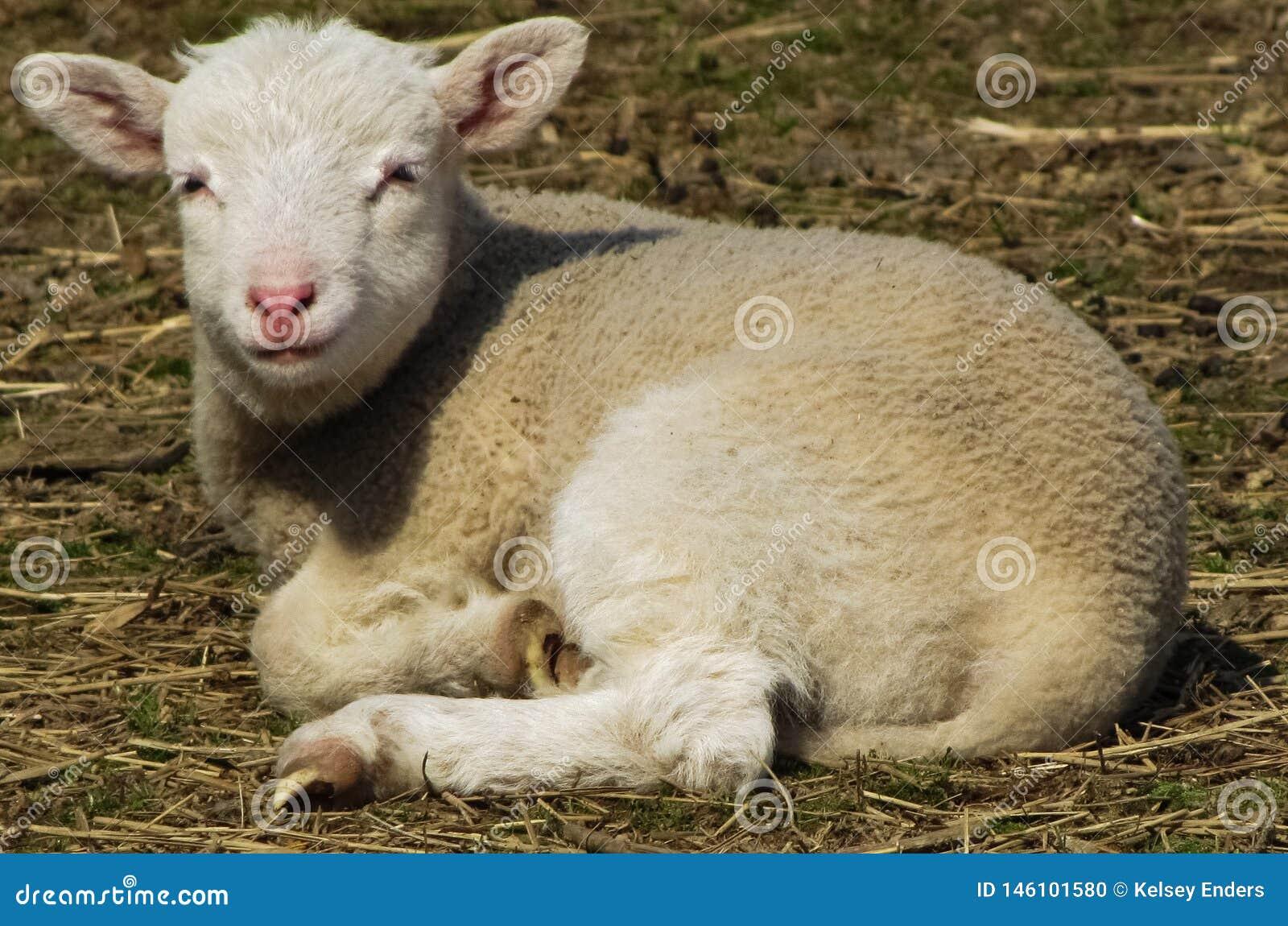 在农场的羊羔秸杆的