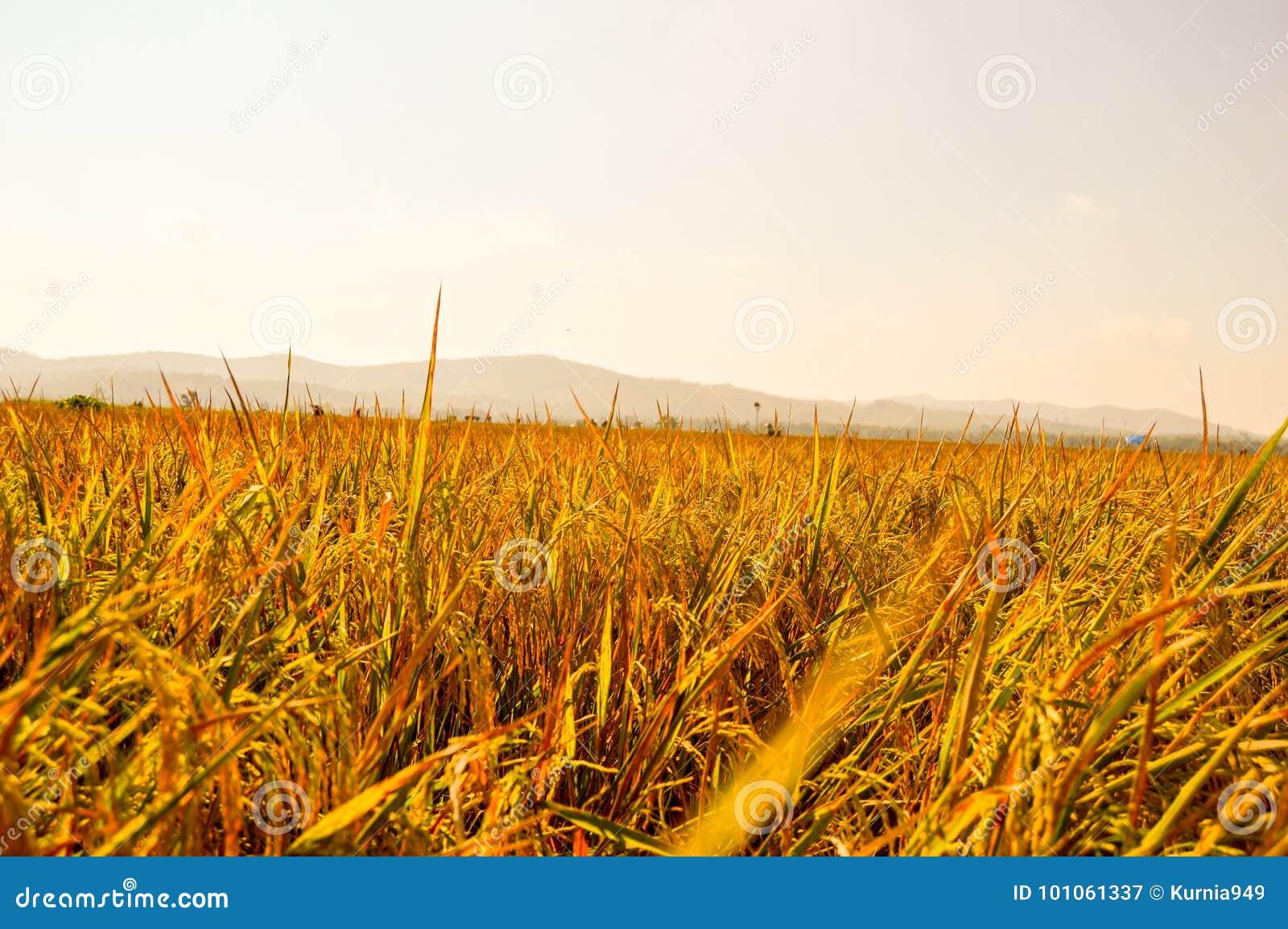 在农田的金黄稻