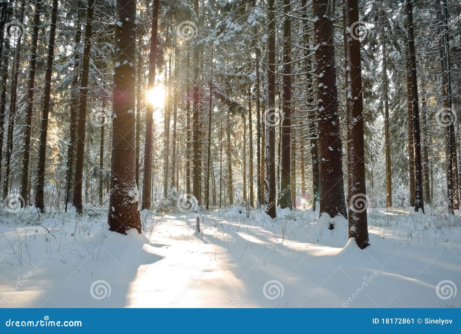 在冬天之下的森林星期日