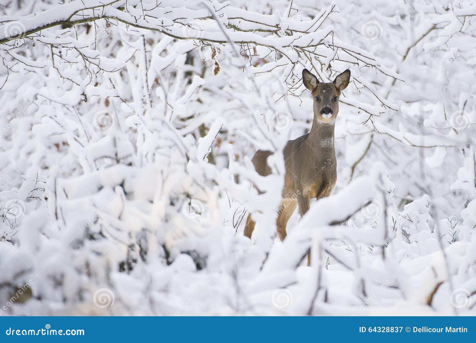 在冬天期间,在雪的狍