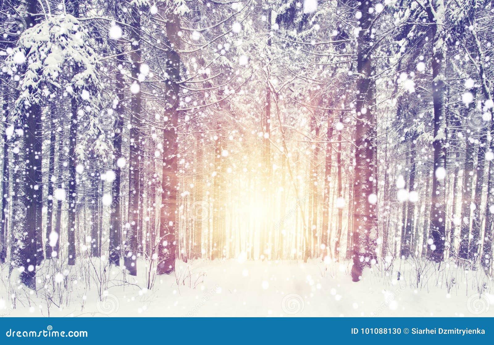 在冬天森林日出的降雪在与雪花的冷淡的多雪的森林圣诞节和新年场面 另外的背景格式xmas