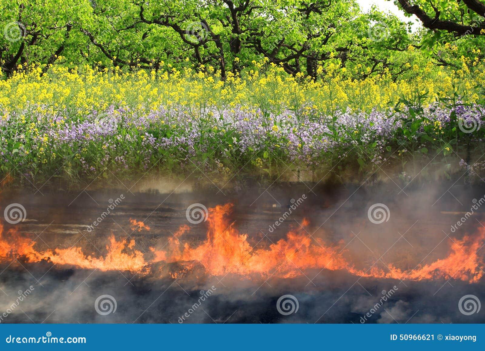 在冬天烧的农田在春天生长苍劲的菜花