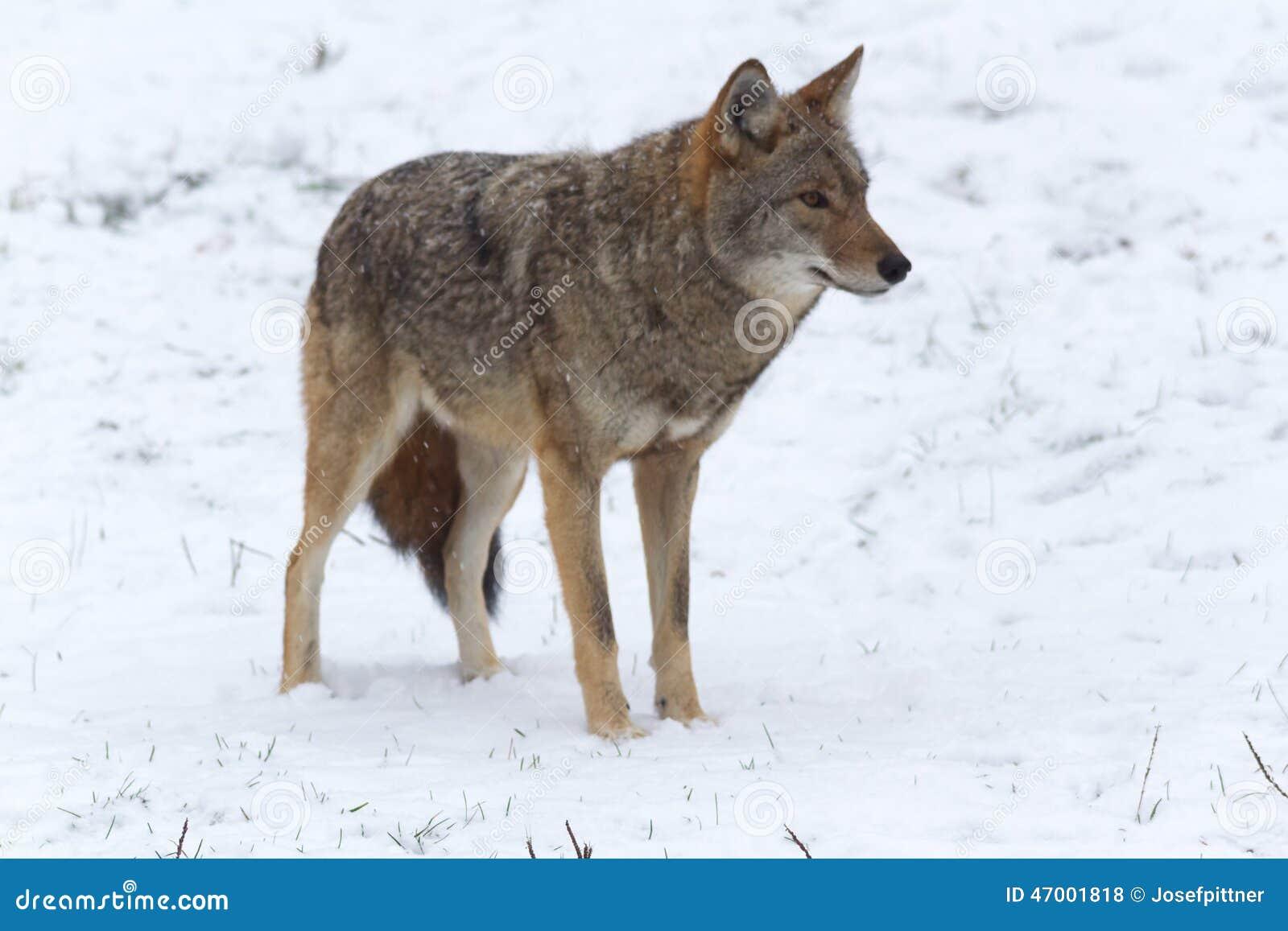 在冬天风景的孤立土狼