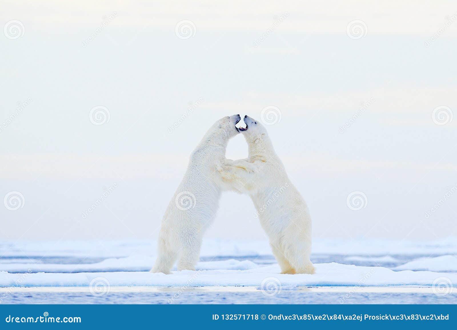 在冰的北极熊跳舞 两头北极熊在与雪,白色动物的流冰爱在自然栖所,斯瓦尔巴特群岛,