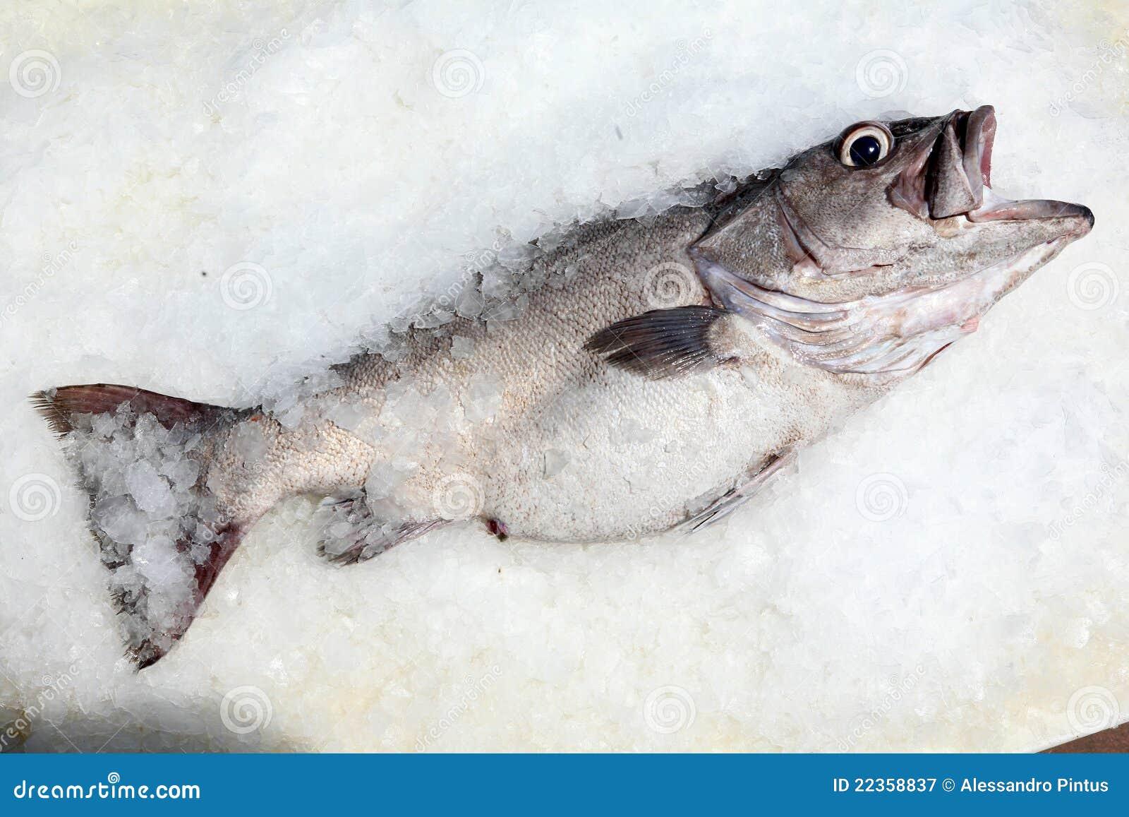 在冰的鲈鱼