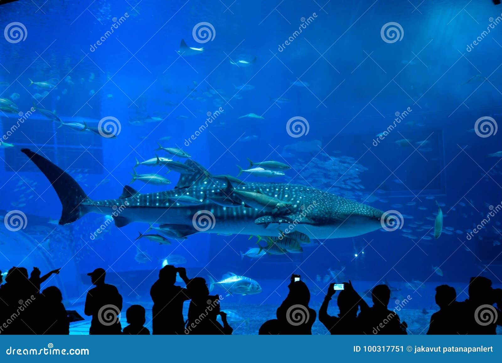 在冲绳岛Churaumi水族馆的鲸鲨