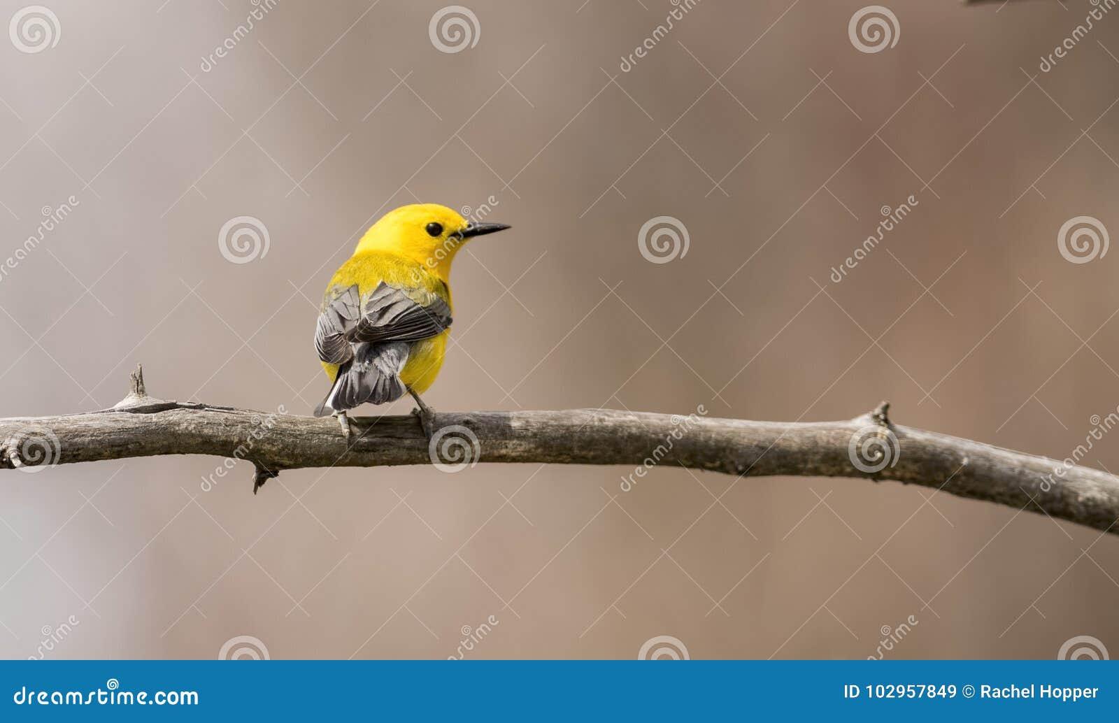 在分支栖息的Protonotary鸣鸟