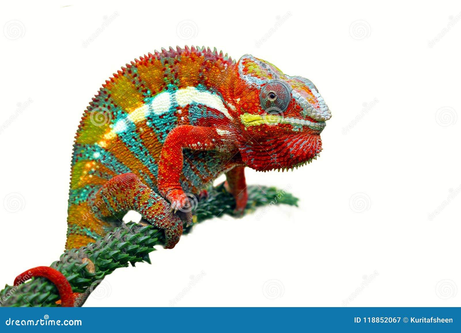 在分支的变色蜥蜴豹有白色背景